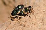Carolina Metallic Tiger Beetle mating (Tetracha carolina carolina), Lake Texoma, Oklahoma, USA