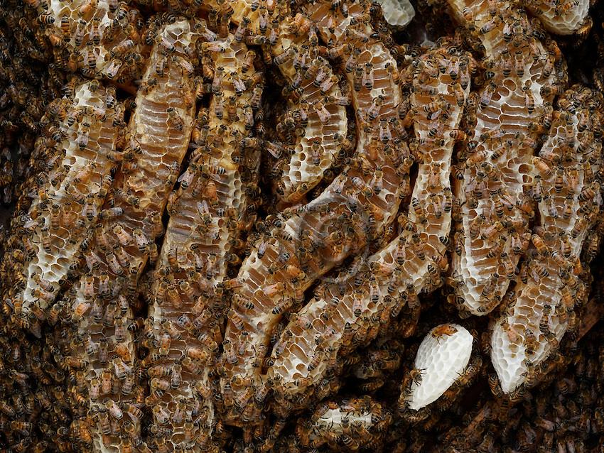 Honeybees on new build combs