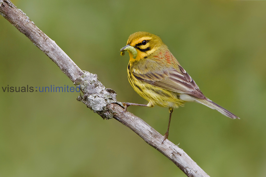 A Prairie Warbler (Dendroica discolor) perched on a branch with a caterpillar in its bill, Ontario, Canada.