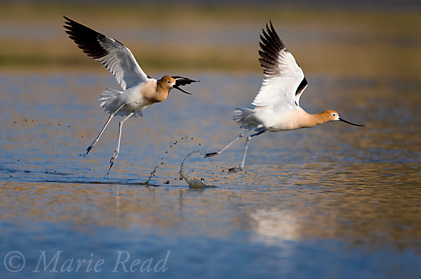 American Avocets (Recurvirostra americana) during territorial chase, California, USA