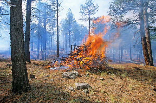 Burning slash piles after thinning of ponderosa pine forest, Coconino National Forest, Flagstaff, Arizona, AGPix_0279.