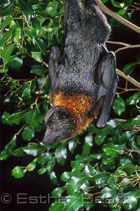 Grey-headed Flying Fox (Pteropus poliocephalus) female. Sydney, NSW