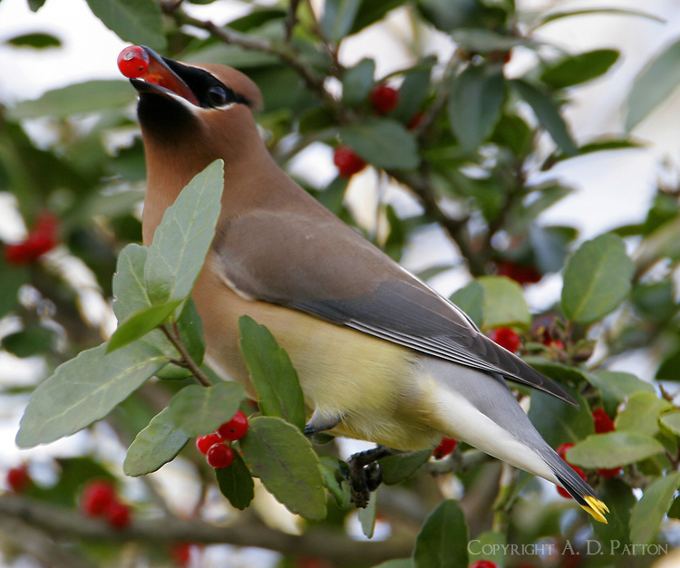 First-year cedar waxwing eating yaupon berry