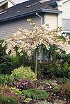 8943-CB `Shirotae' or Mt. Fuji Japanese Flowering Cherry, Prunus serrulata, small tree, at Tualatin, Oregon