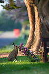 Brown hare eating a bouquet of flowers at a cemetery in England.
