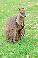 agile wallaby, or sandy wallaby, Macropus agilis, mother with joey in her pouch, Cuddly Creek, Australia, Oceania
