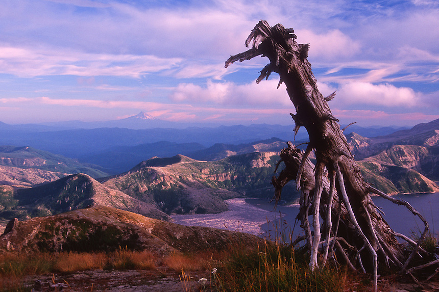 Standing Dead Tree on Mt. Margaret and Spirit Lake, Mt. St. Helens National Volcanic Monument, Washington, US