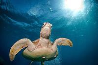 Green Sea Turtle, Chelonia mydas, Great Barrier Reef, Australia, Pacific Ocean