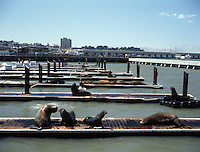 Sea Lions next to piers 39 and 41 in San Francisco California USA