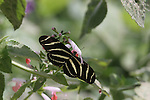 Zebra Heliconian butterfly, Heliconius charithonius