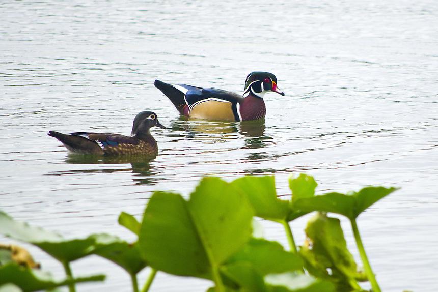 Wood ducks, Morton Lake, Lakeland, Florida