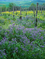 Tuscany, Italy      <br /> Borage and mustard in a vineyard near Pienza in the Val d'Orcia