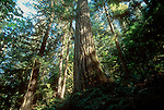 Old growth fir forest, Douglas Fir, Noisy Creek Preserve, The Nature Conservancy, Cascade Range, Washington State, Pacific Northwest, USA, Preserve has become part of the Mount Baker National Forest, .
