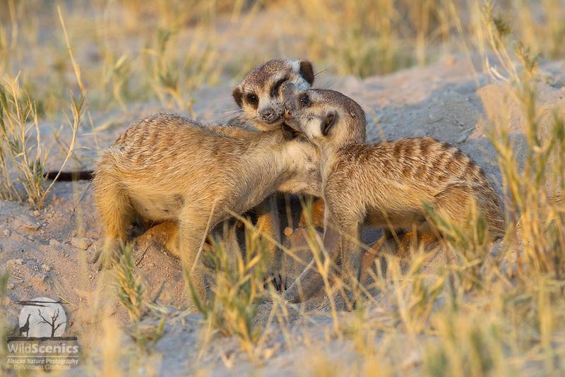 Grooming Meerkats Meerkats allogrooming