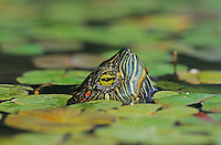 Red-eared Slider, Trachemys scripta elegans, adult swimming, Willacy County, Rio Grande Valley, Texas, USA, April 2004