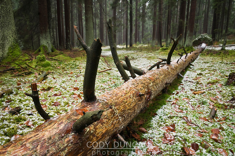Fallen tree in winter forest, Franconia, Bavaria, Germany