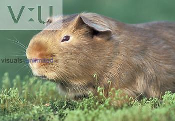 Short-haired Guinea Pig.