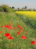 Poppies in a field margin and a crop of oilseed rape, Yorkshire.