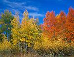 Grand Teton National Park, WY<br /> Evening light on autumn aspen groves in Buffalo Meadows