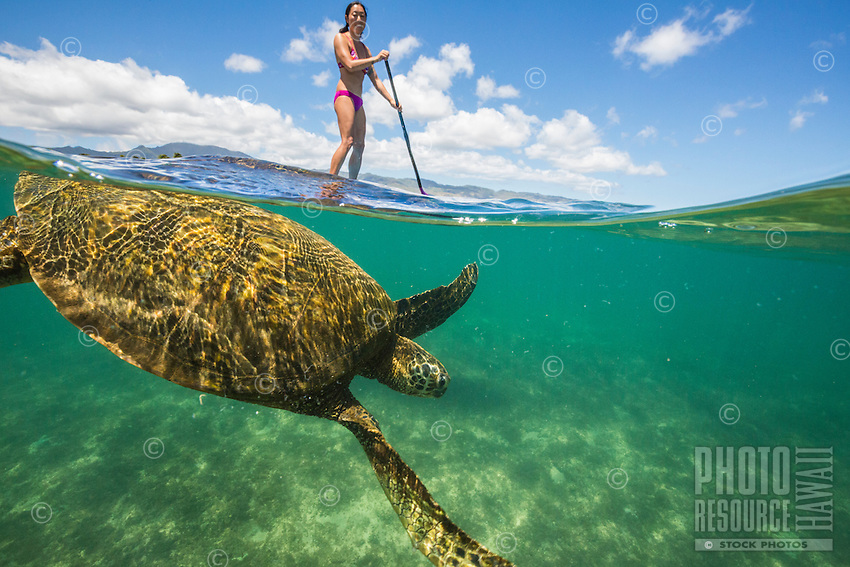 Young standup paddler encounters a green sea turtle swimming off the coast of Oahu's North Shore