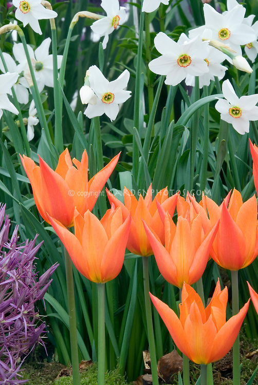 spring bulbs Tulips, Paperwhite narcissus and Ornamental onion, Tulipa  'Ballerina', Narcissus poeticus recurvus, Allium christophii, planted together, in white, apricot red and lavender