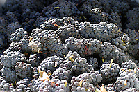 Lake Chelan wineries have had some success producing estate Pinot Noir wines These grapes were ready to be crushed at the Vin du Lac Winery in the Lake Chelan Valley