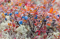 Bog or low bush blueberries, Denali National Park, interior, Alaska.