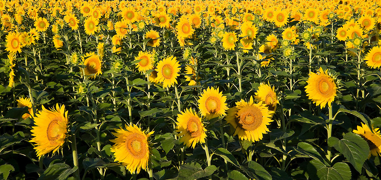 Morning light on a field of mature sunflowers on a farm in Will County, IL