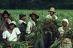 colheita coletiva de pequenos proprietários, ex posseiros em Conceição do Araguaia - Pará.1988