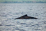 A Humpback Whale surfacing. Maui, Hawaii.