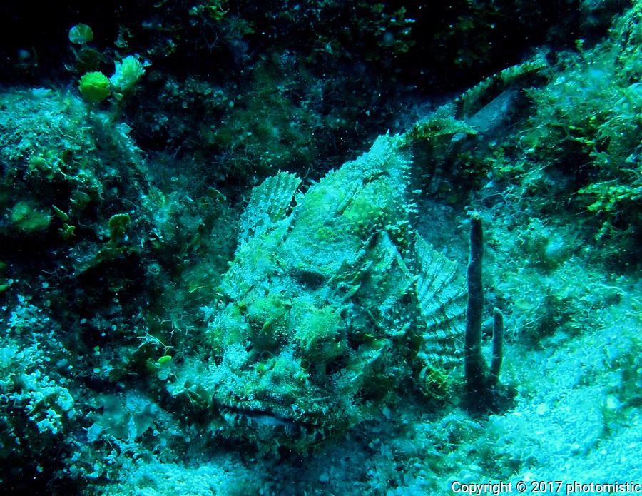 Scorpion Fish