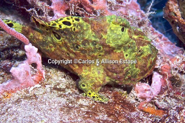 Antennarius multiocellatus, Longlure frogfish, Florida Keys