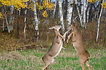 White-tailed deer (Odocoileus virginianus) on hind legs sparring