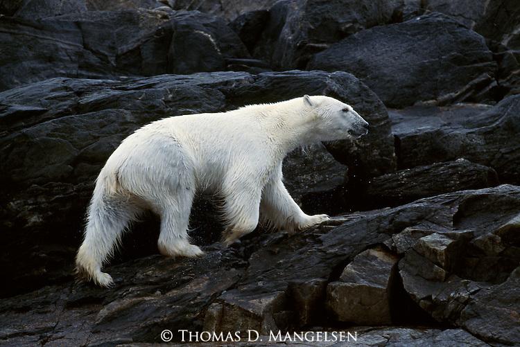 A polar bear walks up a rocky shore after swimming.