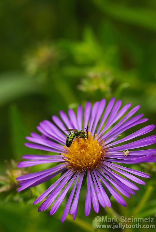 An adult Halicitid bee (sweat bee) pollinates a New England Aster flower head (Symphyotrichum novae-angliae aka Aster novae-angliae), while a tiny crab spider (Thomisidae) looks on.