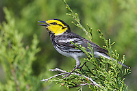 Golden-cheeked Warbler - Dendroica chrysoparia - male