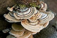 Bracket fungi (Stereum sp., likely Stereum hirsutum). Delaware County, Ohio, USA