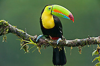 Wild Keel-billed Toucan (Ramphastos sulfuratus), also known as Sulfur-breasted Toucan or Rainbow-billed Toucan.  Found from southern Mexico south through Central America into northern South America.  This photo is from Costa Rican lowland rainforest.