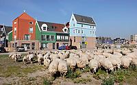 Nederland - Zaandam - 2019.     Steeds meer gemeenten in Nederland zetten schaapskuddes in om het openbaar groen te beheren. De schapen van Landschapsbeheer Rinnegom trokken vrijdag weer dwars door Zaandam naar het Darwinpark, waar ze geschoren zullen worden. Een steeds belangrijker argument om te grazen in het openbaar groen is de hoge mate mate van duurzaamheid van de beheermethode. Begrazing is milieuvriendelijk, er is geen brandstof nodig en er is geen geluidsoverlast. <br /> Nieuwbouw achter het station.   Foto mag niet in negatieve / schadelijke context gepubliceerd worden.    Foto Berlinda van Dam / Hollandse Hoogte