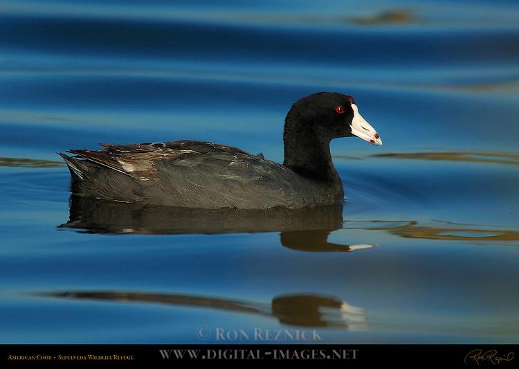 American Coot, Sepulveda Wildlife Refuge, Southern California