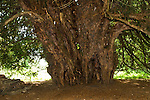 Ankerwycke Yew tree close to the ruins of St Mary's Priory, near Wraysbury in Berkshire UK
