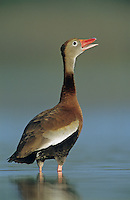 Black-bellied Whistling-Duck, Dendrocygna autumnalis, adult calling, Welder Wildlife Refuge, Sinton, Texas, USA