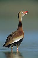 Black-bellied Whistling-Duck, Dendrocygna autumnalis, adult calling, Welder Wildlife Refuge, Sinton, Texas, USA