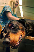 Aron the rottweiler is given a massage at a health spa for dogs.