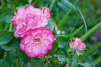 Vashon-Maury Island, WA  Floribunda rose 'Sexy Rexy'