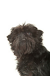 Affenpinscher Dog, Head Study, Studio, White Background
