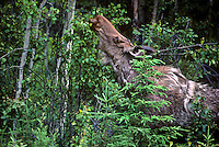 66050301 a wild moose alces alces forages on tree leaves in southeast alaska rainforest