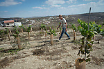 Yosef maintains his vineyard close to his house in the unauthorised Israeli settler-outpost of Chavat Gilad, West Bank.