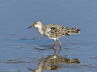 Ruff - Philomachus pugnax<br /> male, moulting into winter plumage.  L 23-29cm. Variable wader but rather small head is a consistent feature. Has slightly downcurved bill, orange-yellow legs and, in flight, narrow white wingbar and white sides to rump. Male is smaller than female and, in breeding season, has unique head decorations. Adult male in summer has brownish upperparts, many feathers with black tips and bars. On breeding grounds, briefly has facial warts and variably coloured ruff and crest feathers. Adult female in summer has grey-brown upperparts, many feathers with dark tips and bars; underparts are pale. Winter adult has rather uniform grey-brown upperparts and pale underparts. Juvenile recalls winter adult but has buff suffusion and scaly-looking back. Voice Mostly silent. Status Rare breeding species on freshwater wetlands. Fairly common passage migrant, favouring coastal freshwater pools; scarce in winter.