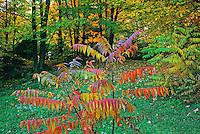 sumac shrub in autumn color<br /> Old Chelsea<br /> Quebec<br /> Canada